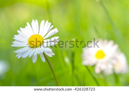 tiny white bellis flower for a greeting card background design 2