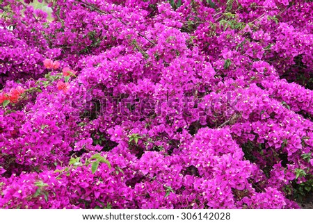 Tiny white bougainvillea flowers with pink bracts, family of nyctaginaceae. - stock photo