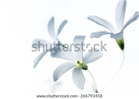 Tiny white flowers on white background - stock photo