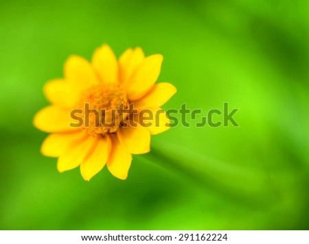 Tiny yellow wild flower macro with a green background - stock photo
