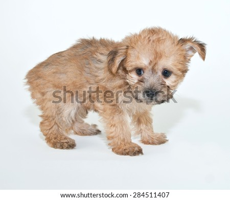 Tiny Yorkie Poo puppy that looks like she just got in trouble for doing something wrong, on a white background.