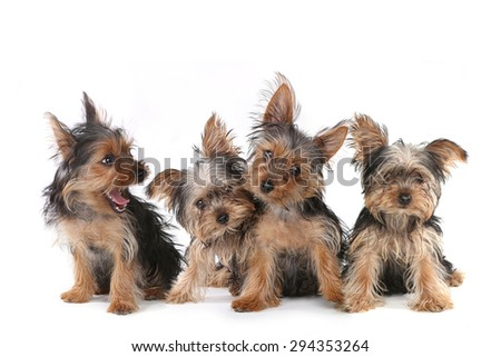 Tiny Yorkshire Terrier Puppies Sitting on White Background   - stock photo