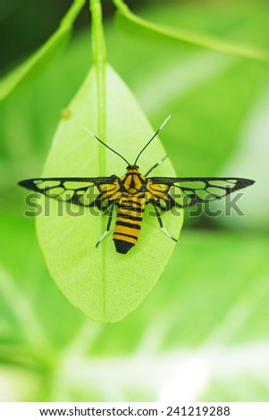 tip view of wasp moth staying on the tree leaf - stock photo