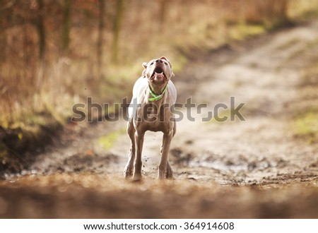 tired and old weimaraner dog runs every effort in the woods, hunting, - stock photo