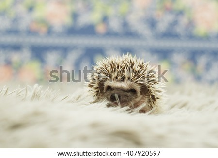 tired and sleepy baby cute african pgmy hedgehog in indoors