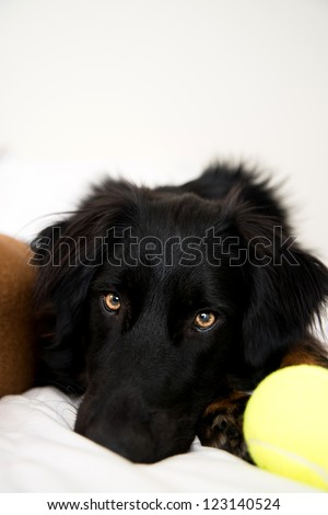 Tired Black Dog Laying on White Bed with Tennis Ball