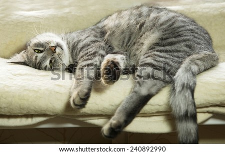 Tired cat, domestic cat near the window, tired grey cat, sleepy tired cat, cat - stock photo