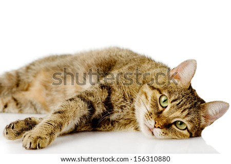 tired cat. isolated on white background - stock photo