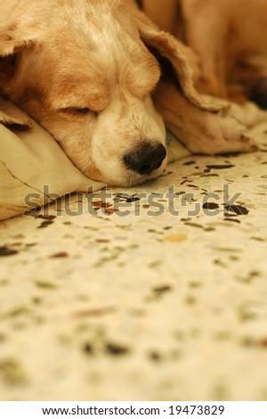 Tired Cocker Spaniel - stock photo