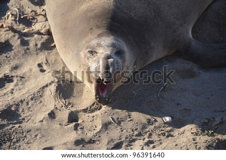 tired elephant seal yawning in the camera - stock photo