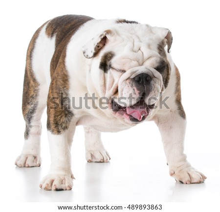 tired english bulldog puppy standing on white background