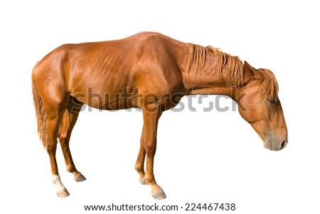 Tired horse on white background - stock photo
