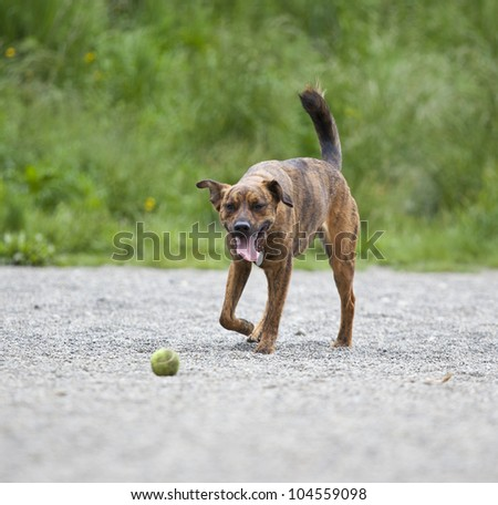 Tired hound retrieving a ball - stock photo
