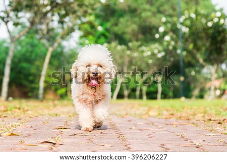 Tired poodle dog with long tongue and heavy breathing, resting after exercise at park