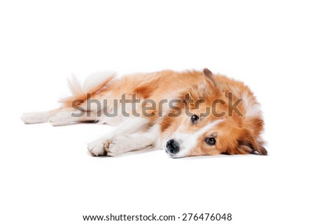 tired red Border Collie dog lying on a white background