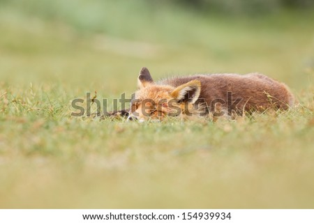 tired red fox