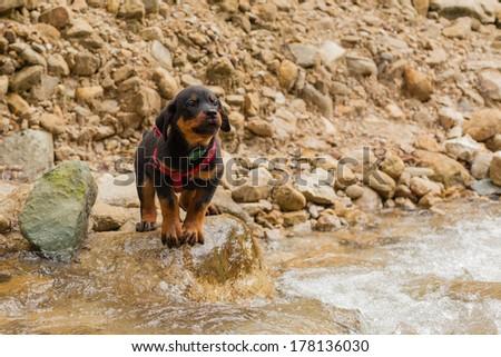 tired rottweiller puppy - stock photo