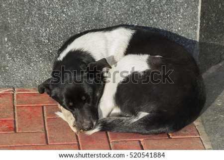 tired sleeping black and white dog on pavement