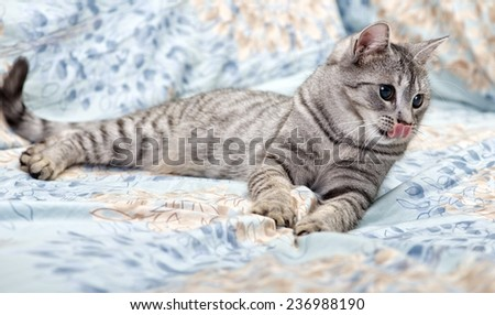 Tired young cat on a sofa with tongue out, curious cat, kitten, tongue, cat on a sofa - stock photo