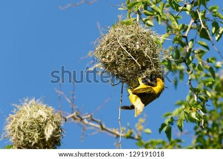 Tisserin, Parc National Kruger, Afrique du Sud. - stock photo