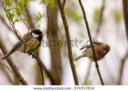 tit and chaffinch on branches of trees in spring - stock photo