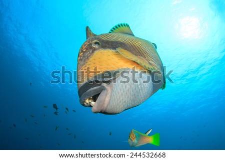 Titan Triggerfish - stock photo