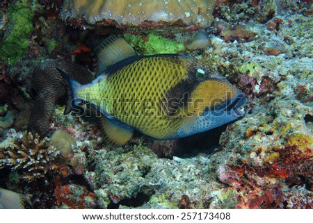 Titan triggerfish (Balistoides viridescens) in the coral reef - stock photo
