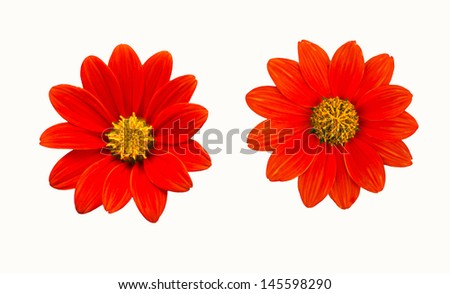 Tithonia rotundifolia ( Mexican sunflower)  on white background - stock photo
