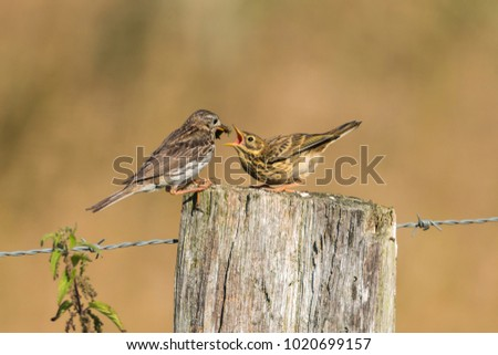titlark (antus pratensis) feeding the junior with a cricket