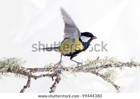 titmouse bird dance on tree branches isolated  on a white background. spring. - stock photo