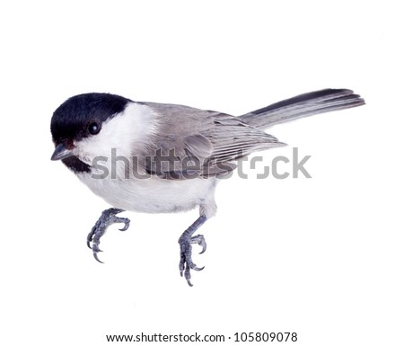 titmouse bird isolated on a white background. spring. - stock photo