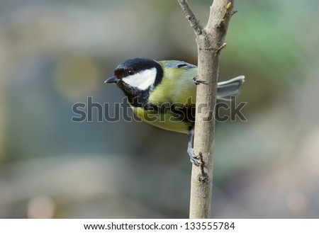 Titmouse on a branch. - stock photo