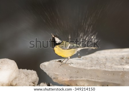titmouse on ice while water splashes