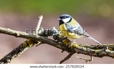 Titmouse spring wild out in nature. - stock photo
