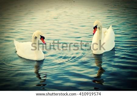 To swans. - stock photo