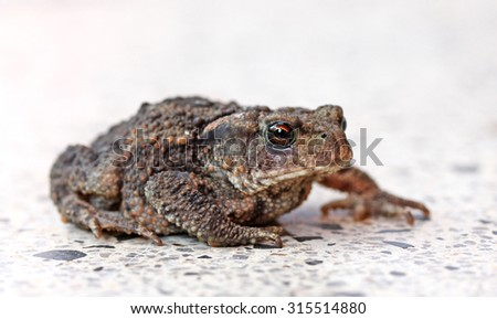 Toad on a gravel path basking in the sun. - stock photo