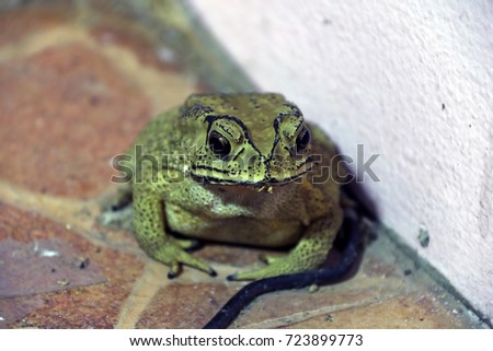 toad sitting on the floor. it is a tailless amphibian with a short stout body and short legs, typically having dry warty skin that can exude poison.
