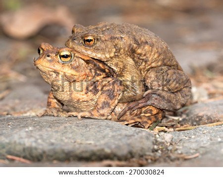 Toads on their way to spawning - stock photo