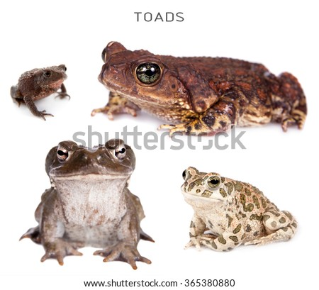 Toads set isolated on white background - stock photo