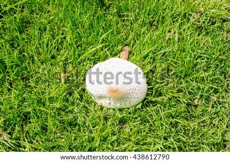 toadstools in the grass green, amanita mushroom, mushroom amanita, fungus photo, poison mushroom - stock photo
