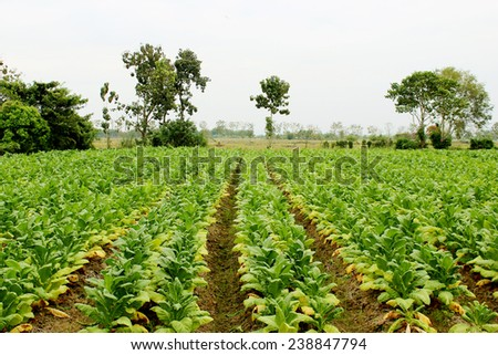 Tobacco farm