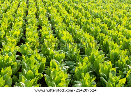 tobacco field - stock photo