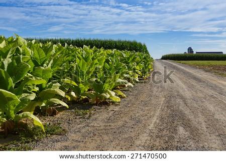Tobacco Field along field lane - stock photo