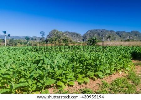 Tobacco field near Vinales, Cuba - stock photo