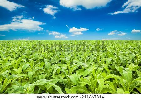 tobacco field under blue sky - stock photo