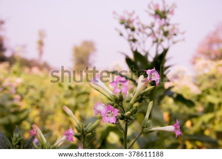 tobacco flower - stock photo