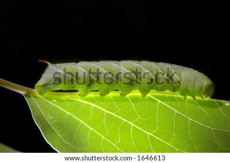 tobacco hornworm (Manduca sexta) on moonflower leaf. - stock photo