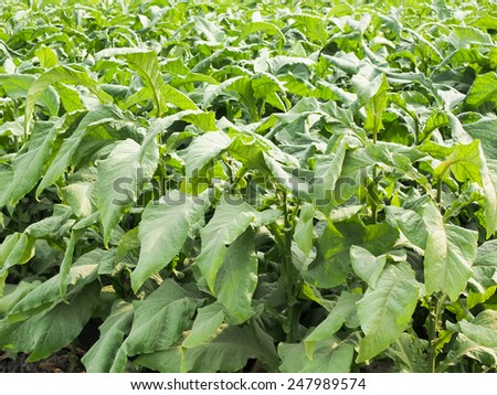 tobacco leaf field - stock photo