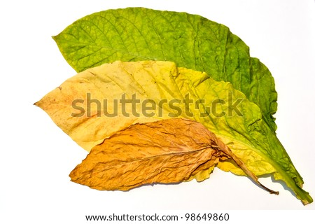 tobacco leaf form garden of thailand