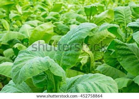 Tobacco leaf  in blurred green tobacco plantation field background, Germany - stock photo